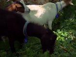 'Cabras limpiadoras'
