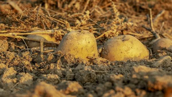 Cultivo de patata