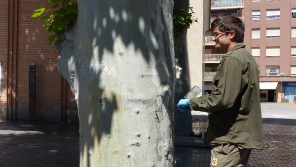 Monzón inicia un tratamiento de endoterapia en los plataneros de la plaza Aragón para combatir al insecto 'tigre'