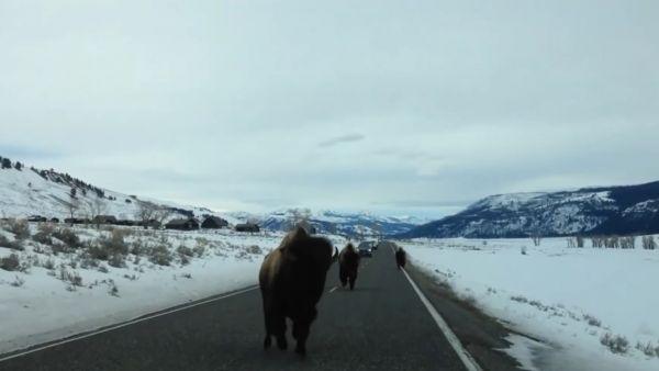 No te interpongas en el camino de un bisonte