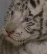 Se busca nombre para unos trillizos de tigre de Bengala
