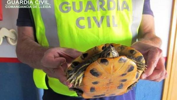 La Guardia Civil recupera una tortuga de Florida en Almacelles (Lleida)