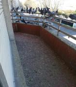 Intervienen en una vivienda de Vigo cuya dueña generó un problema de salud pública al alimentar palomas desde su balcón