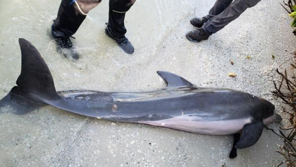 Delfín varado en Florida