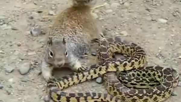 ¿Quién ganaría en un duelo entre una ardilla y una serpiente?