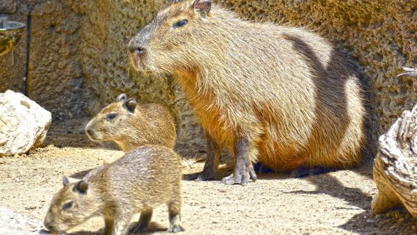 Alicante.- Nacen dos capibaras en Terra Natura Benidorm de la pareja que llegó de Múnich en 2015