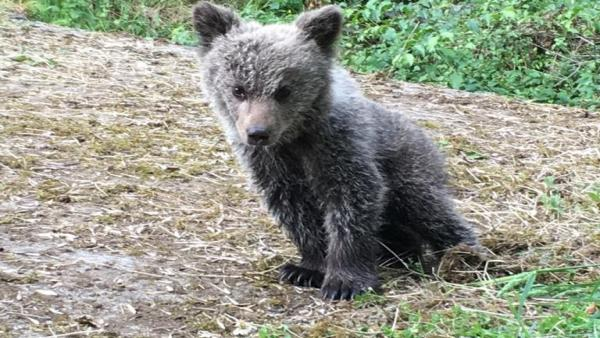 Localizada una cría de oso pardo en buen estado en el municipio asturiano de Santo Adriano