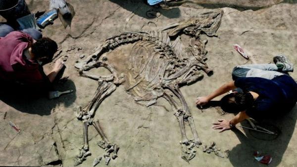 Hallan un nuevo esqueleto de bóvido de hace 3,1 millones de años en Caldes de Malavella