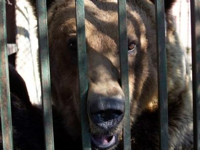 Rocco, oso pardo atrapado en una jaula en Albania