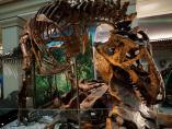 Museo de Washington - Esqueleto auténtico de un Tyrannosaurus rex