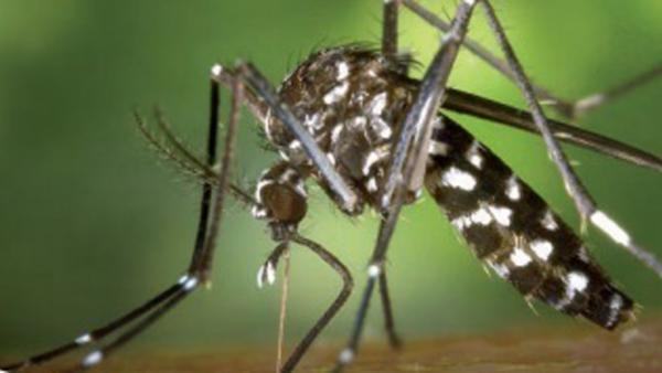 Imagen de un mosquito tigre