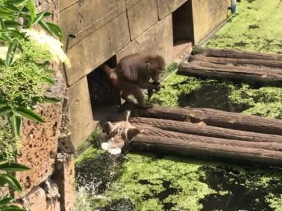 Un mono devora a un grupo de patos