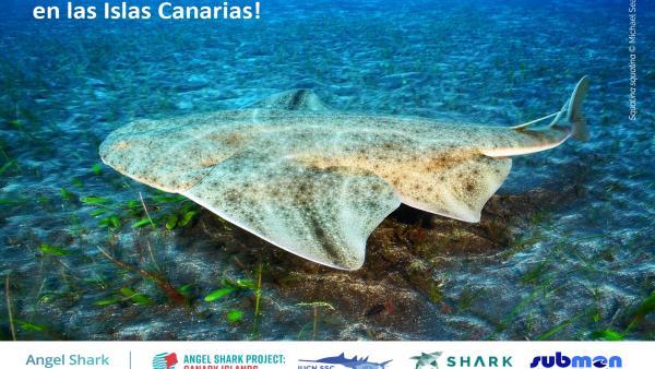La ULPGC celebra la protección del tiburón ángel en Canarias