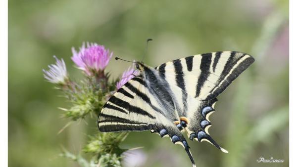 Jaén.- Una guía-atlas recoge las 104 especies de mariposas que habitan Sierra Mágina