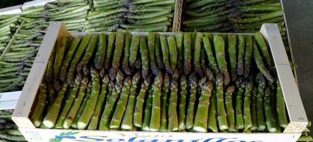 El espárrago comienza a dejar de ser rentable en Guadalajara por saturación del mercado