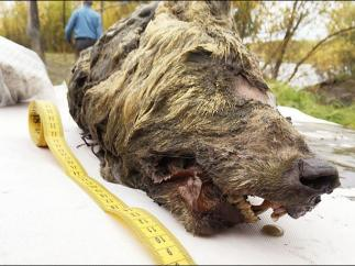 Cabeza de lobo del Pleistoceno