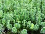Myriophyllum aquaticum espezie inbaditzailea desagerrarazteko lana egiten ari da URA, Lopidan