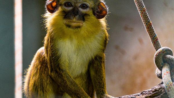 Bioparc acoge un nuevo grupo del mono más pequeño de África, víctima del tráfico ilegal como mascotas