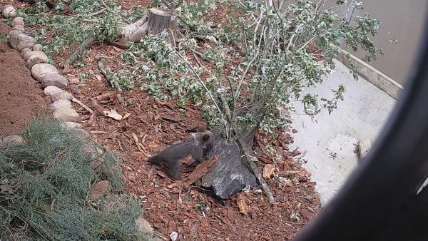 En 'muy buen estado' la osezna ingresada en el Centro de Recuperación de la Fauna Silvestre de Cantabria