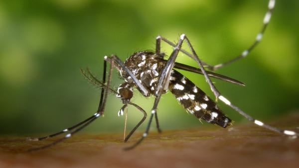 Marratxí inicia su campaña de control de mosquito tigre