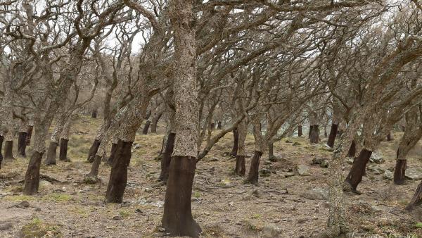 Cádiz.- Ecologistas solicitará a Europa una mesa específica por la seca del alcornocal en el Parque de Los Alcornocales