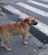 Un perro espera en un paso de cebra