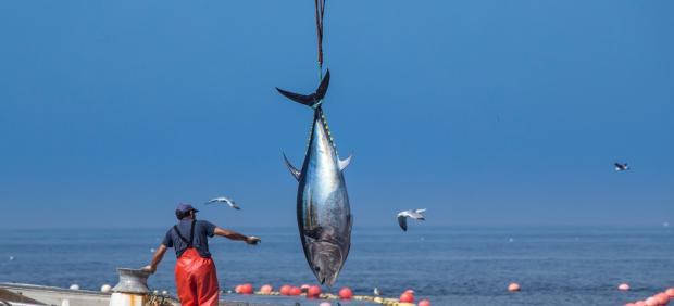 Cádiz.- Las almadrabas de Zahara y Tarifa tienen aún 45 toneladas para completar la cuota de capturas de esta temporada