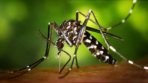 Mosquito tigre ejemplar ecologistas advierten daño