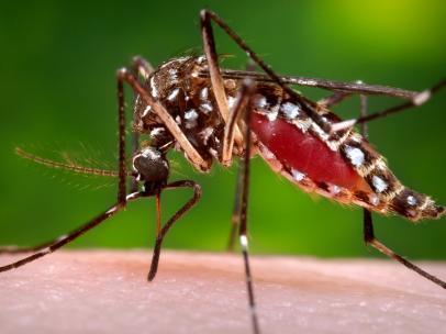Mosquito del cchikungunya