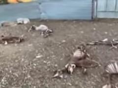 Los buitres matan a sus ovejas y sube un vídeo reivindicativo