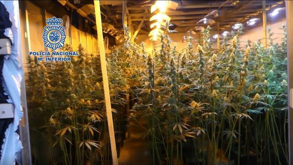 Plantación de marihuana incautada por la Policía Nacional en una operación en la provincia de Albacete
