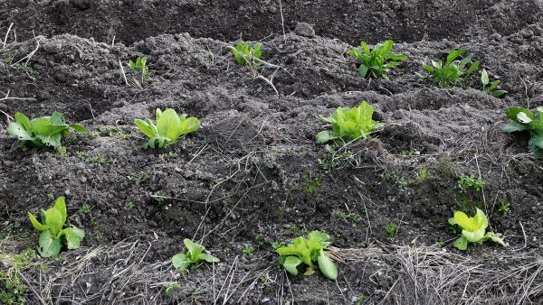 Agricultura, agricultor, agrícola, agrícolas, campo, campos, cultivos, cultivos, lechuga, lechugas, repollo, repollos, verdura, verduras, tierra, campo de cultivo