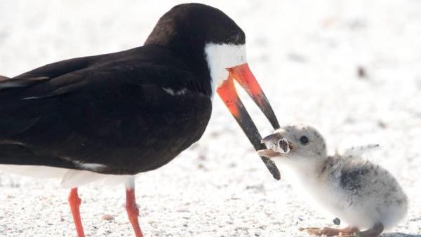 Un ave alimenta a su cría con una colilla