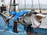Japón vuelve a capturar ballenas