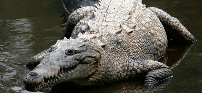 Un ejemplar de 'crocodylus acutus'