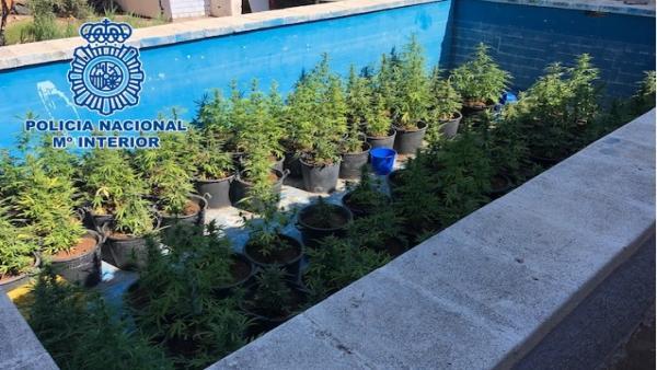 Plantas de marihuana en una piscina