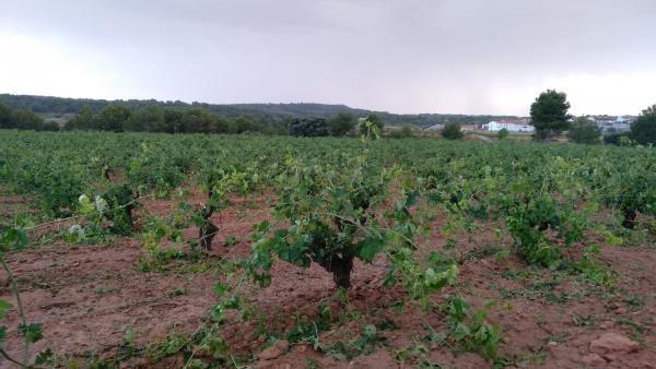 El granissol danya 10.000 hectàrees de cultiu a Utiel-Requena, segons La Unió