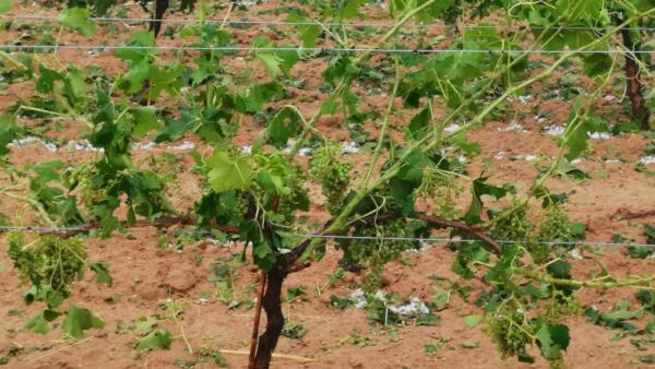 Cultivo en la comarca Utiel-Requena