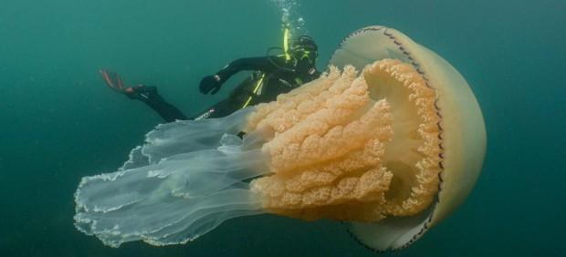 Una pareja de buzos encuentra una medusa gigante en la costa de Cornualles, Reino Unido