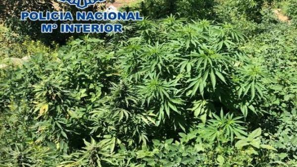 Plantación de marihuana intervenida en una finca de Padul