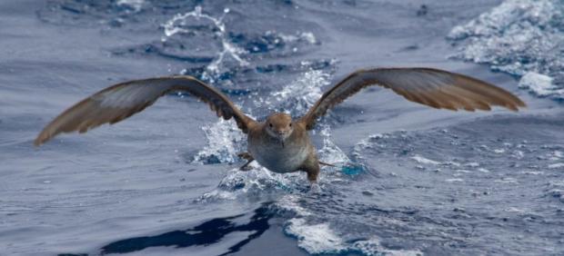 La pardela balear, una especie endémica y amenazada mundialmente.