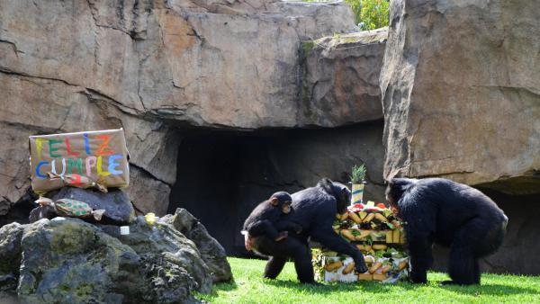 La familia de chimpancés celebra el aniversario