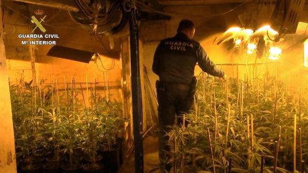 Once detenidos tras desmantelar una plantación de marihuana en La Carlota con más de 2.100 plantas
