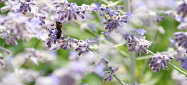 Un estudio de la UIB evalúa el impacto de la avispa asiática sobre las abejas productoras de miel ...