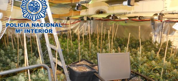 Nota De Prensa: Desmanteladas En Sanlúcar De Barrameda Dos Plantaciones Indoor De Cannabis Sativa Con Un Total De 810 Plantas