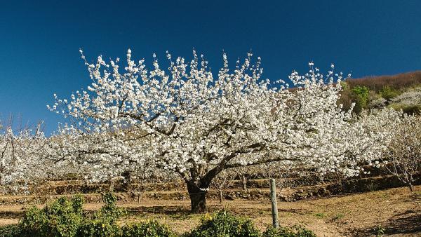 Cerezo en flor del Valle del Jerte