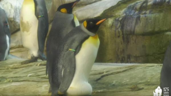 Los pingüinos Skipper y Ping