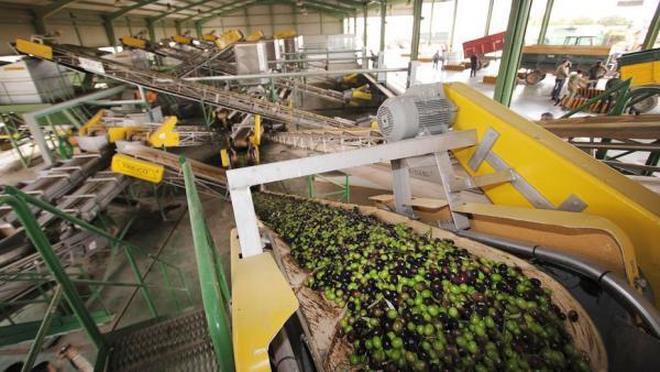 Una almazara en pleno proceso de producción del aceite de oliva