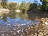 Peces muertos en el río Hozgarganta