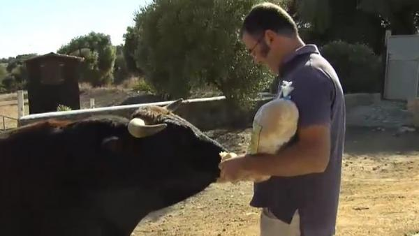 Un toro bravo como animal de compañía